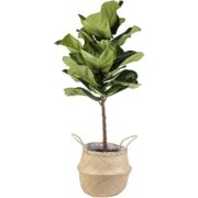 Live Fiddle Leaf Fig Tree