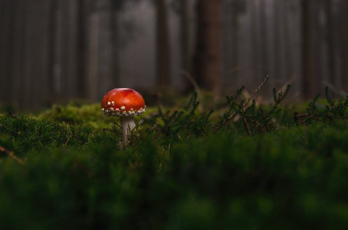 Red Mushroom in a forest